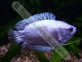 Gourami Dwarf Platinum Blue (Males) - click for more details
