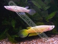 Golden Wonder Panchax (PAIR) - click for more details