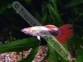Guppy Red Tail Tuxedo Neon Gold - click for more details