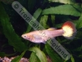Guppy Female Gold Sunset - click for more details