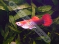 Guppy Red Spade Tail Gold Tuxedo - click for more details