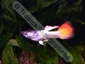 Guppy Neon Flame Tail - click for more details