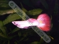 Guppy Neon Flamingo - click for more details