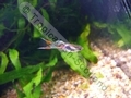 Guppy Endler Double Sword - click for more details