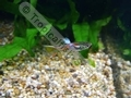 Guppy Endler (L) - click for more details