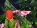 Guppy Red Tail Half Black - click for more details