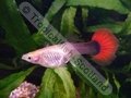 Guppy Female Red Tail Half Black - click for more details