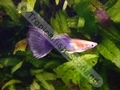Guppy Half Gold Half Purple - click for more details