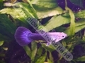 Guppy Half Black (M) - click for more details