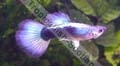 Guppy Blue Neon - click for more details