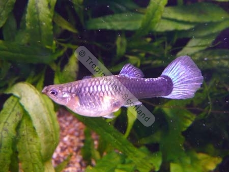 Neon Tetras And Guppies Guppy Female Neon Blue