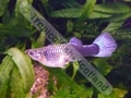 Guppy Female Neon Blue - click for more details
