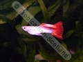 Guppy Neon Firetail - click for more details