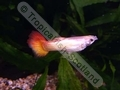 Guppy Neon Sunrise - click for more details