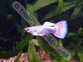 Guppy Red Tail Pastel Blue - click for more details