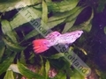 Guppy Red Spadetail - click for more details