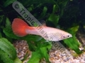 Guppy Female Flamingo - click for more details