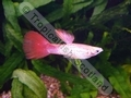 Guppy Red Snakeskin (M) - click for more details