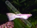 Guppy Red Stripped Platinum Gold - click for more details