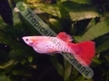 Guppy Red Tail Snakeskin - click for more details