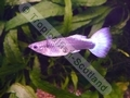 Guppy Female Sky Blue - click for more details