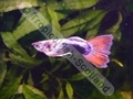 Guppy Red Tail Tuxedo - click for more details