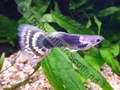 Guppy Varigated Tail Tuxedo - click for more details