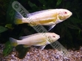 Gold Albino Auratus - click for more details