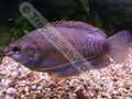 Gourami Thicklip (Males) - click for more details