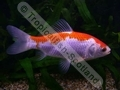 Goldfish Red and White - click for more details