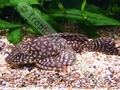Gold Spot Plec - click for more details