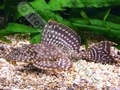Gold Spot Sailfin Plec - click for more details