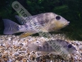 Geophagus Steindachneri (M) - click for more details