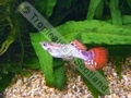 Guppy Snakeskin Red - click for more details