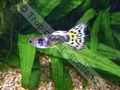 Guppy Tuxedo Leopard Tail - click for more details
