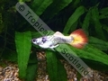 Guppy Tuxedo Sunrise - click for more details