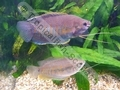 Gourami Thicklip (Pair) - click for more details