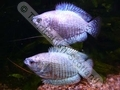 Gourami Dwarf Powder Blue Neon (Pair) - click for more details