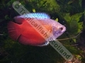 Gourami Dwarf Red Neon (Male) - click for more details