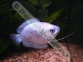 Gourami Dwarf Powder Blue (Females) - click for more details