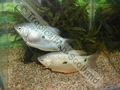 Gourami Two Spot - click for more details