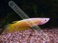 Golden Wonder Panchax (Males) - click for more details
