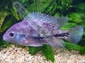 Gold Cheeked Cichlid - click for more details